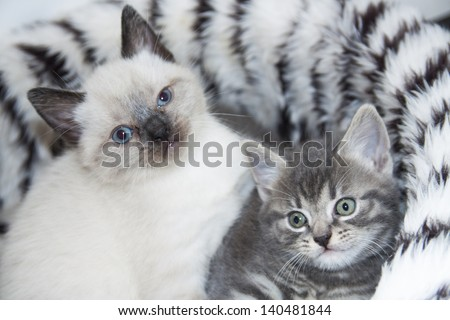 Two young fluffy kittens close-up for background use - stock photo