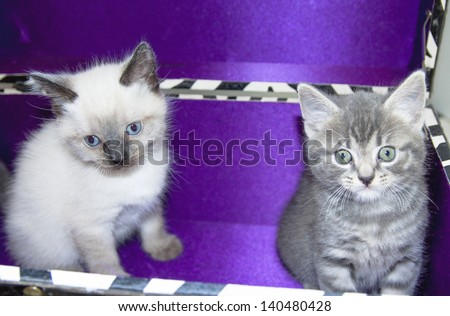 Two young fluffy kittens in zebra box for background use - stock photo