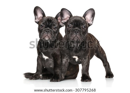 Two young French bulldog on white background - stock photo