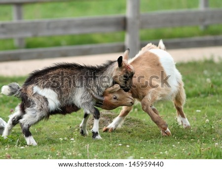 two young goats fighting in the ranch yard - stock photo