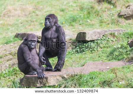 Two young gorillas,  toddlers, wait until something happened - stock photo