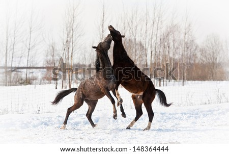 Two young horses playing and rearing up in winter - stock photo
