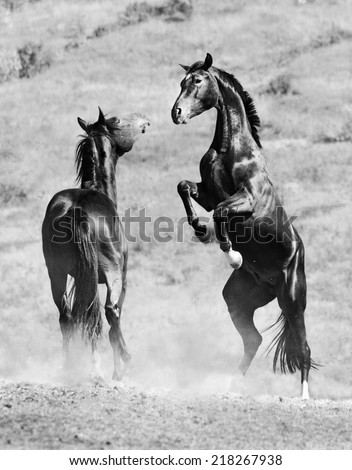Two young horses playing. Black and white image - stock photo