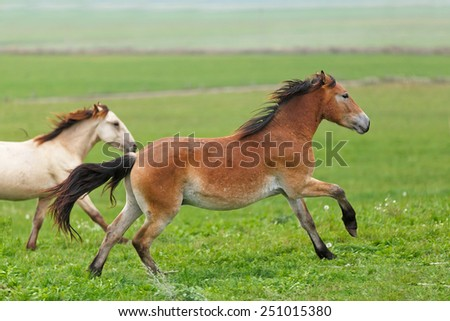 Two young horses running free in the field. - stock photo