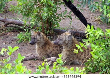 Two young hyenas at the entrance of the den