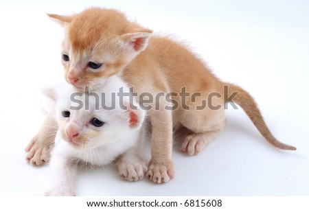 Two young kitty playing with white back ground