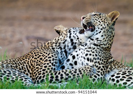 Two young leopard cubs playing