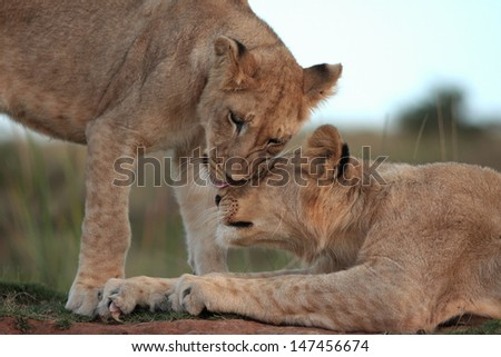 Two young lion cubs greet and touch to show affection and to keep their bond strong in this photo taken on safari in South Africa. - stock photo