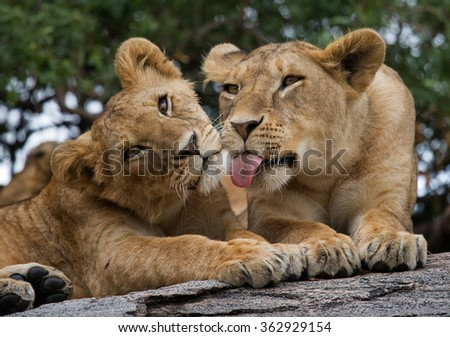Two young lion on a big rock. National Park. Kenya. Tanzania. Masai Mara. Serengeti. An excellent illustration. - stock photo