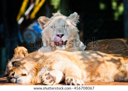 Two young lions laying down with funny face. Lion smiling at the camera.