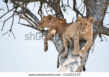 two young lions on a tree - national park masai mara in kenya - stock photo