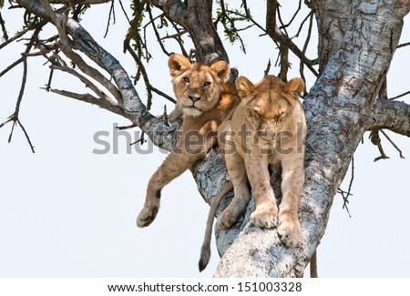 two young lions resting on a tree - national park masai mara in kenya_ - stock photo
