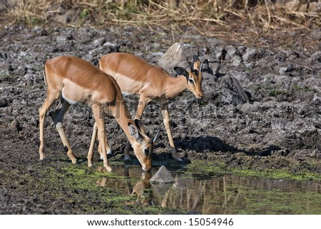 Two young male Impala at waterhole; aepyceros melampus; South Africa