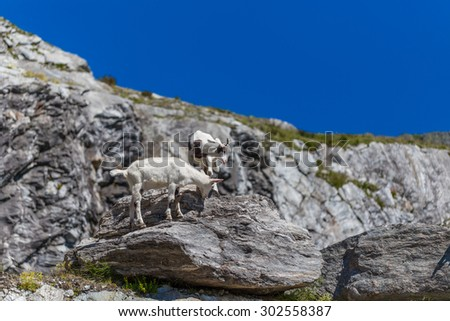 Two young mountain goat on cliff
