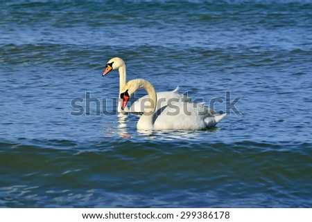Two young mute Swan sailing on the Baltic sea - stock photo