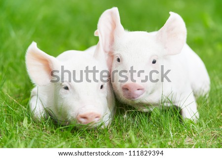 Two young piglet on green grass at pig breeding farm - stock photo