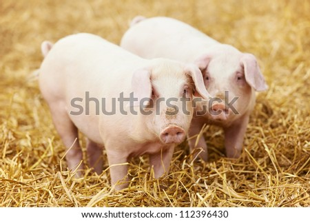 Two young piglet on hay and straw at pig breeding farm - stock photo