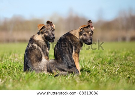 Two young puppys sitting on a green grass