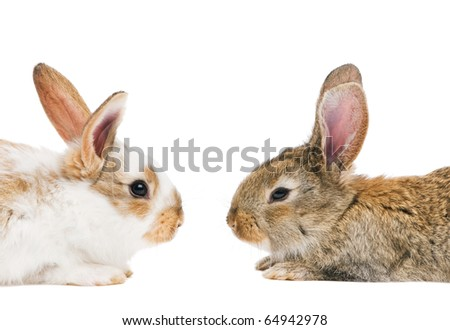 two young rabbits with long ears lying face to face isolated on white - stock photo