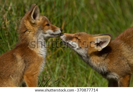 Two young red foxes cuddling - stock photo
