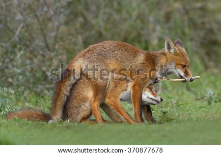 Two young red foxes playing - stock photo