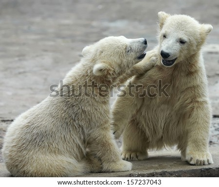 Two young siblings of polar bear are telling baby stories. Cute and cuddly cubs with cheerful expression. Careless childhood of the excellent representatives of the severe and cold Arctic.