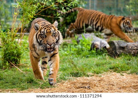 Two Young Sumatran Tigers Running and Playing Panthera Tigris Sumatrae - stock photo