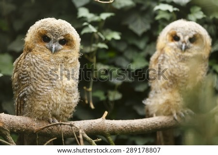 two young tawny owls