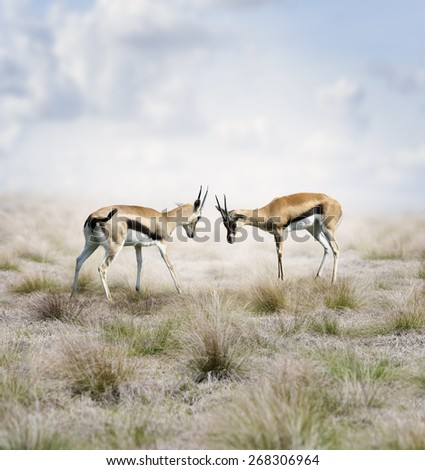 Two Young Thomson's Gazelles Fighting - stock photo