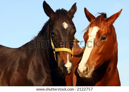 Two young thoroughbred horses - stock photo