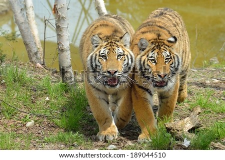 two young tigers walk side-by-side - stock photo