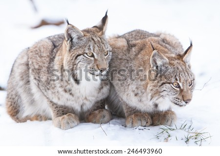 two young watchful lynx sitting in the snow close together and waiting for prey - stock photo