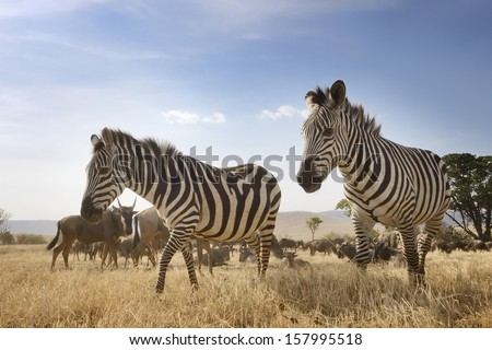 Two Zebra at the Ngorongoro crater in low angle view. - stock photo