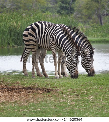 two zebra feeding in green grass field use for safari wildlife theme - stock photo
