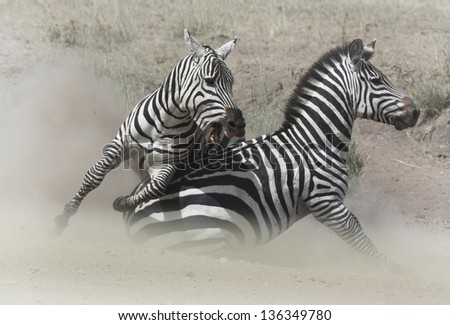 Two zebra stallions fighting in the dust - stock photo