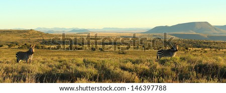 Two zebra standing in open Karoo landscape with mountains in background panorama, Mountain Zebra National Park, South Africa - stock photo