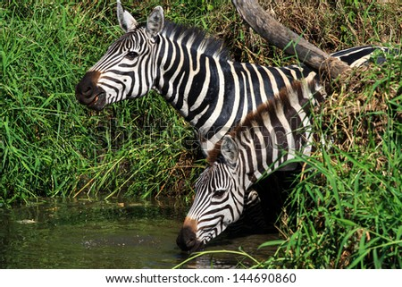 Two zebras at a water hole, drinking and looking out for danger, in Serengeti - stock photo