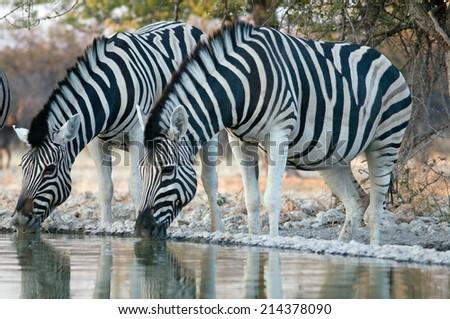 two zebras drinking - stock photo