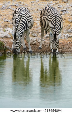 Two zebras drinking at a waterhole in Etosha National Park - stock photo