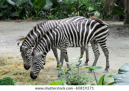 Two zebras eating together - stock photo