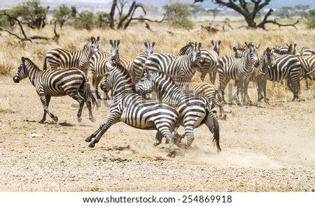 Two zebras fighting at the plains of Serengeti - stock photo