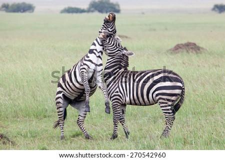 Two Zebras Fighting in Serengeti National Park, Tanzania, Africa - stock photo