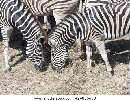 Two Zebras Heads Closing Together eating grass on Nature Backgrounds creating perfect symmetry, harmony while standing face to face showing affections. - stock photo