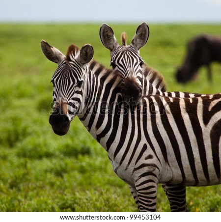 Two Zebras in a Touching Pose on the Serengeti Tanzania Africa - stock photo