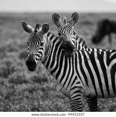 Two Zebras in a Touching Pose on the Serengeti Tanzania Africa Black and White