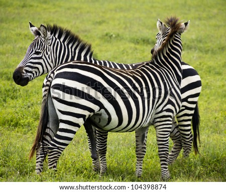two zebras in green grass - stock photo