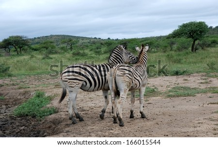 Two zebras in Hluhluwe - stock photo