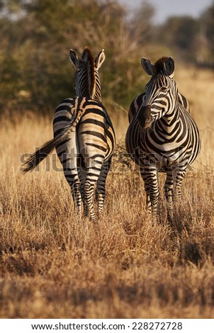 Two zebras on the African savannah, photographed one from the front and one from behind - stock photo