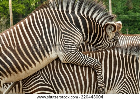 Two zebras pairing. Beautiful pattern with the black and white stripes.