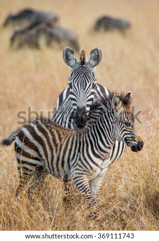 Two zebras playing with each other. Kenya. Tanzania. National Park. Serengeti. Maasai Mara. An excellent illustration.